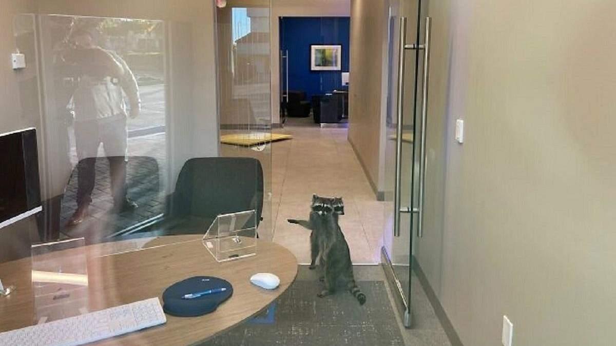 2 енота пробрались в банк в Калифорнии