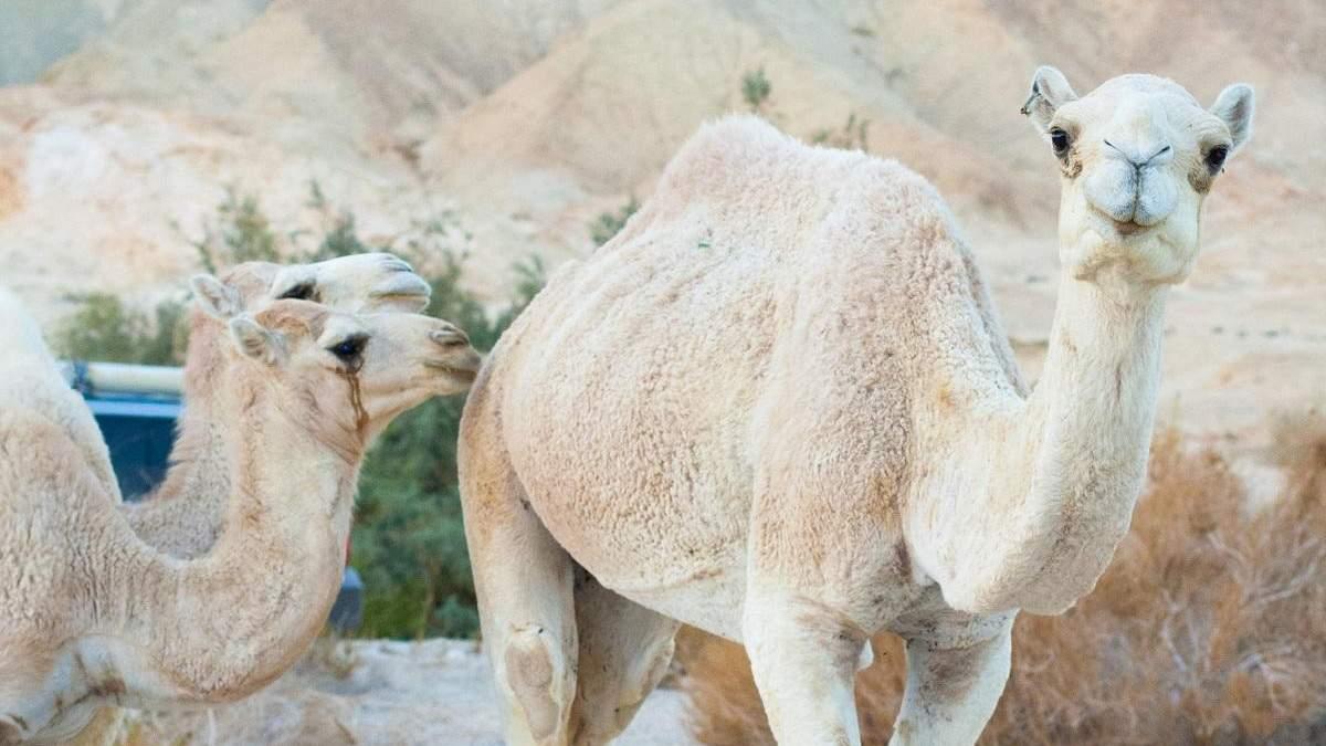 Американец посетил магазин с настоящим верблюдом