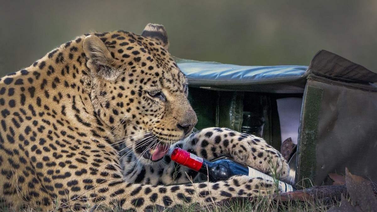 Леопард украл бутылку вина и пытался откупорить ее