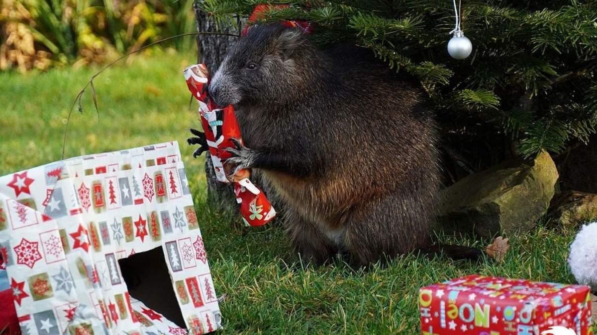 Рождество в зоопарке: какие подарки получили слоны, медведи и другие животные – забавные фото