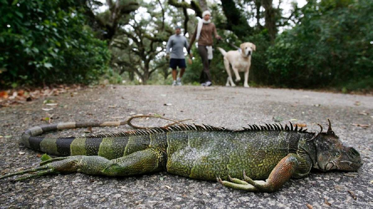 Холодно, временами пролетают игуаны: синоптики сделали странный прогноз для Майами