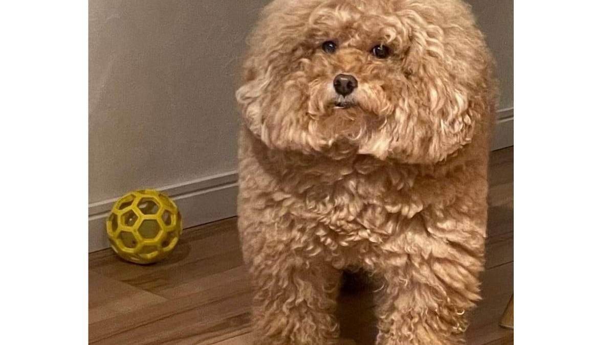 В Японії виявлена квадратна собака, яка стала мемом про героїв популярної гри Among Us