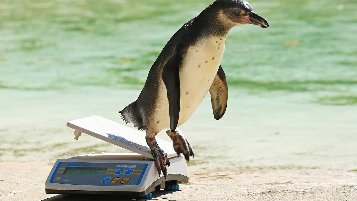 Робота мрії: кумедне відео зі зважуванням пінгвінів у зоопарку підкорило мережу
