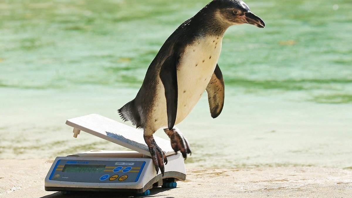 Работа мечты: смешное видео со взвешиванием пингвинов в зоопарке покорило сеть