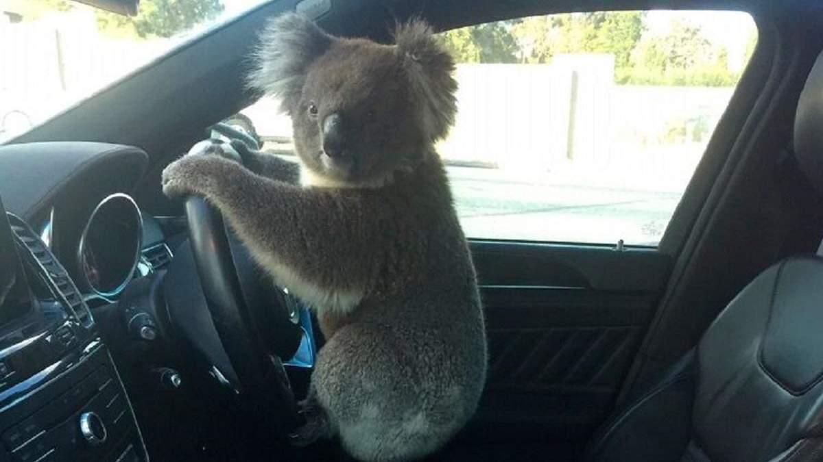 В Австралии коала спровоцировала ДТП с участием 6 автомобилей: фото