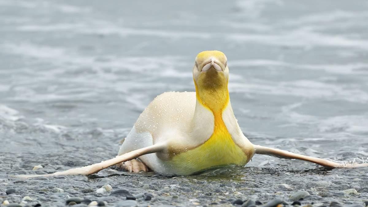 Желтый пингвин, которого вы раньше не видели: фотограф дикой природы сделал невероятный снимок