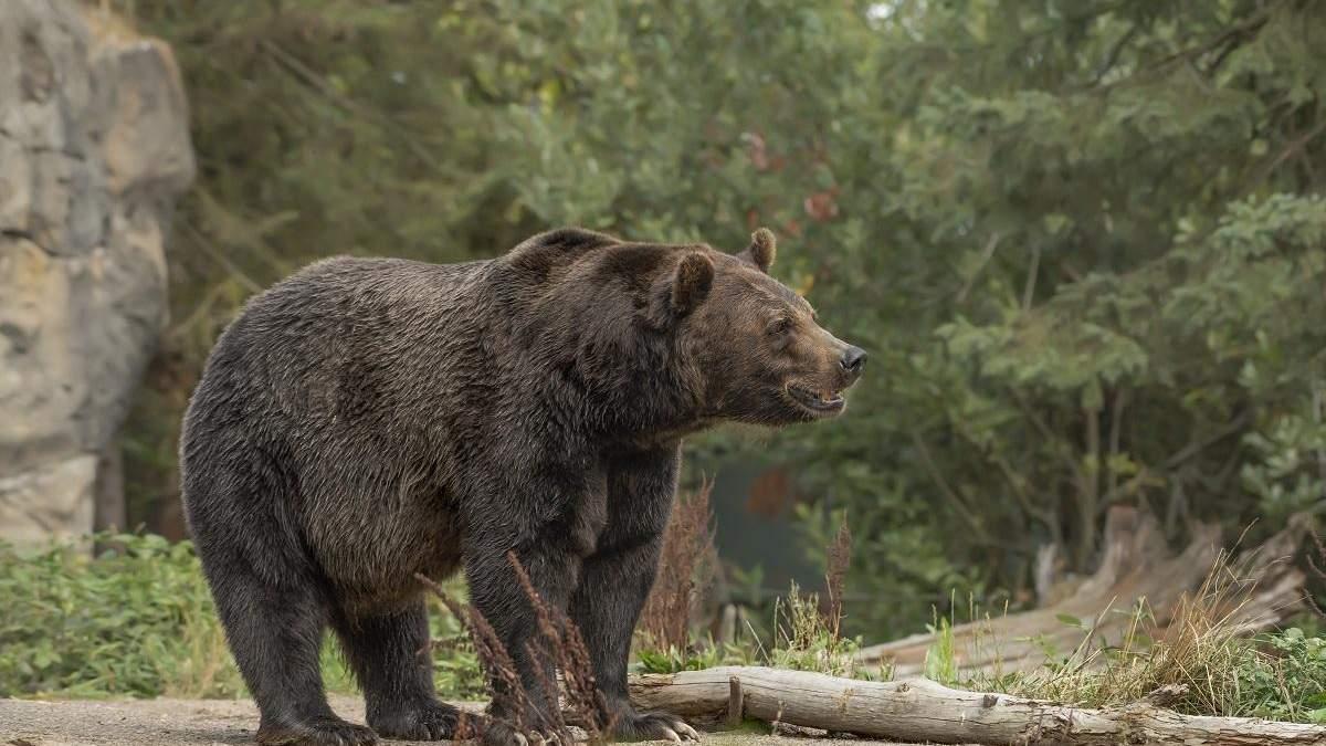 Несподіваний гість: у США ведмідь завітав на домашню вечірку до діджея – курйозне відео
