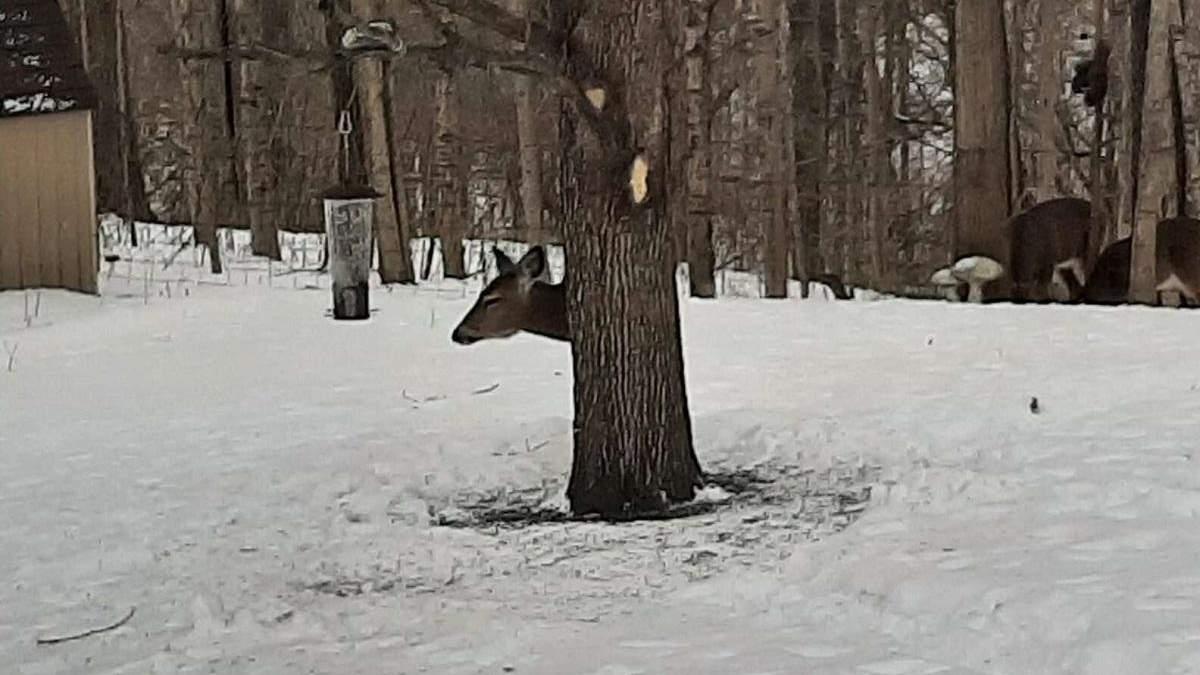 Як олень заховався за деревом