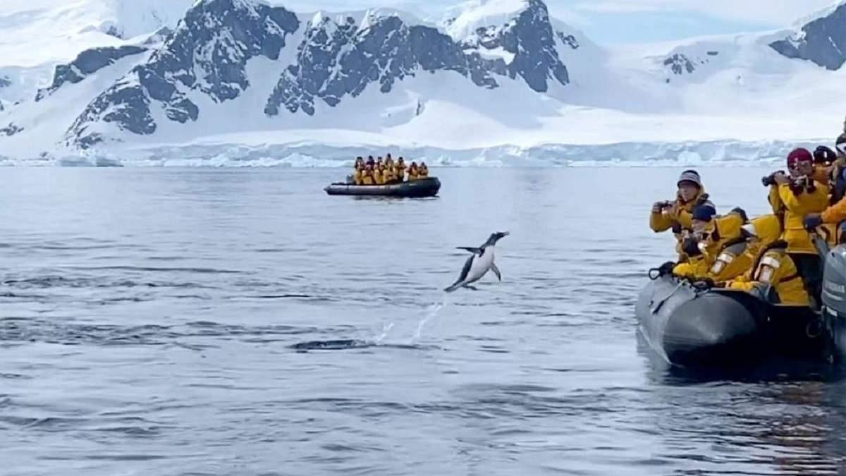 Пингвин убегая от косаток, героически запрыгнул в лодку к радостным туристам