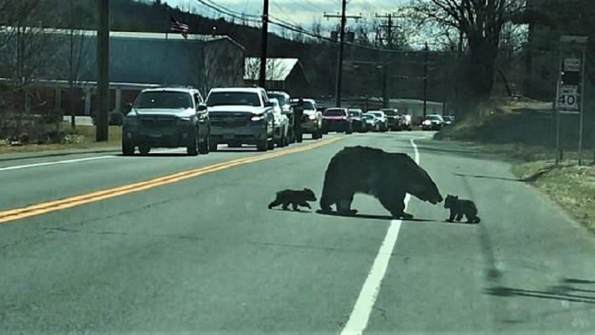 Ведмедиця переводить ведмежат через дорогу