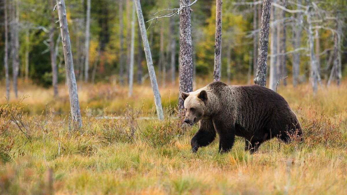 Не все встречи с дикими животными одинаковы: бегун уговаривает медведя не есть его