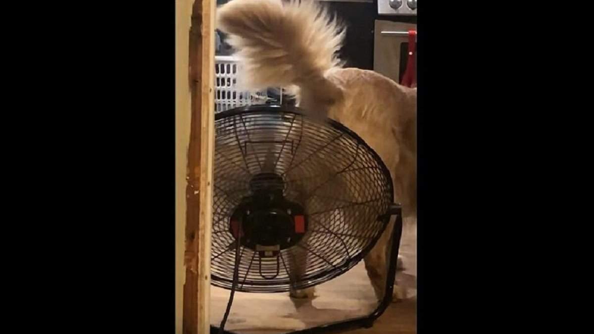Поела остренького: золотистый ретривер охлаждается под вентилятором – забавное видео