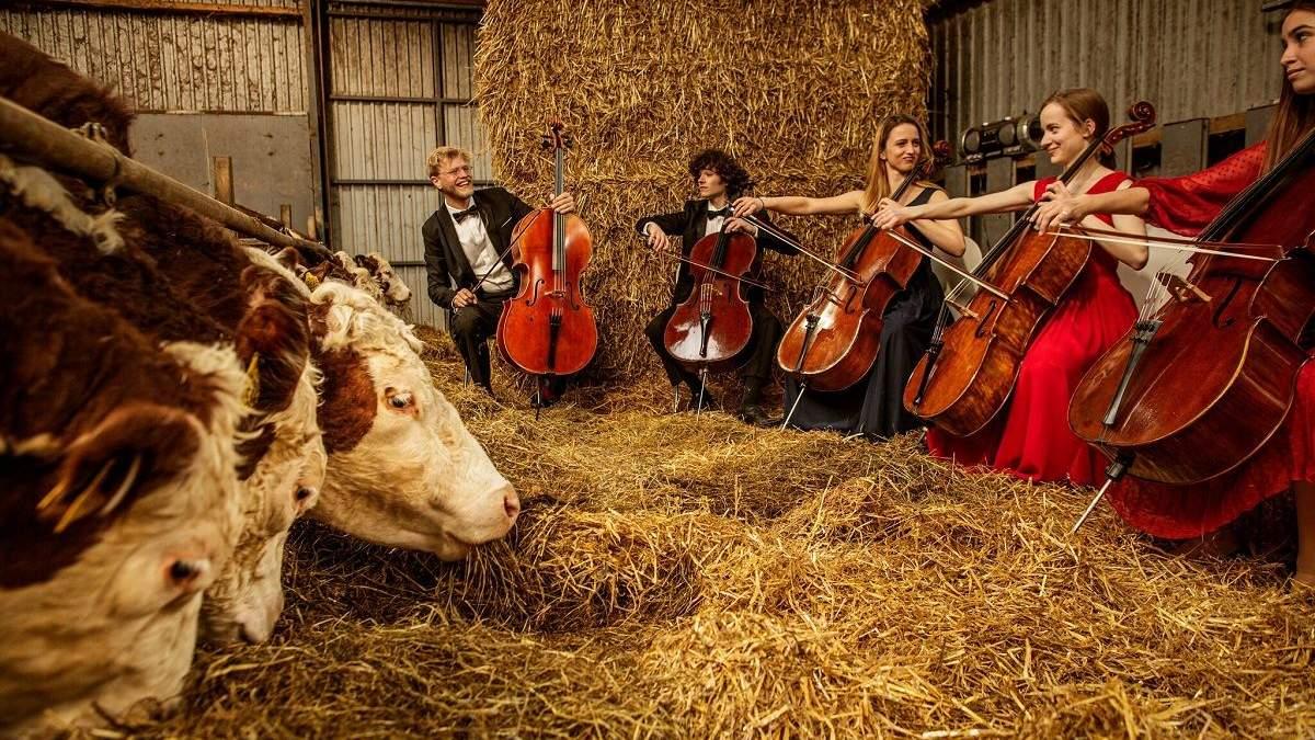 В Дании коровам играют классическую музыку вживую