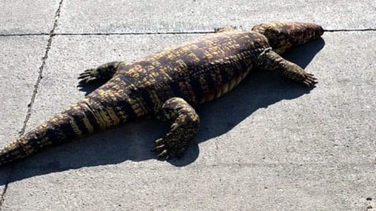 Выглядел как настоящий: плюшевый аллигатор вызвал панику у жителей Айовы