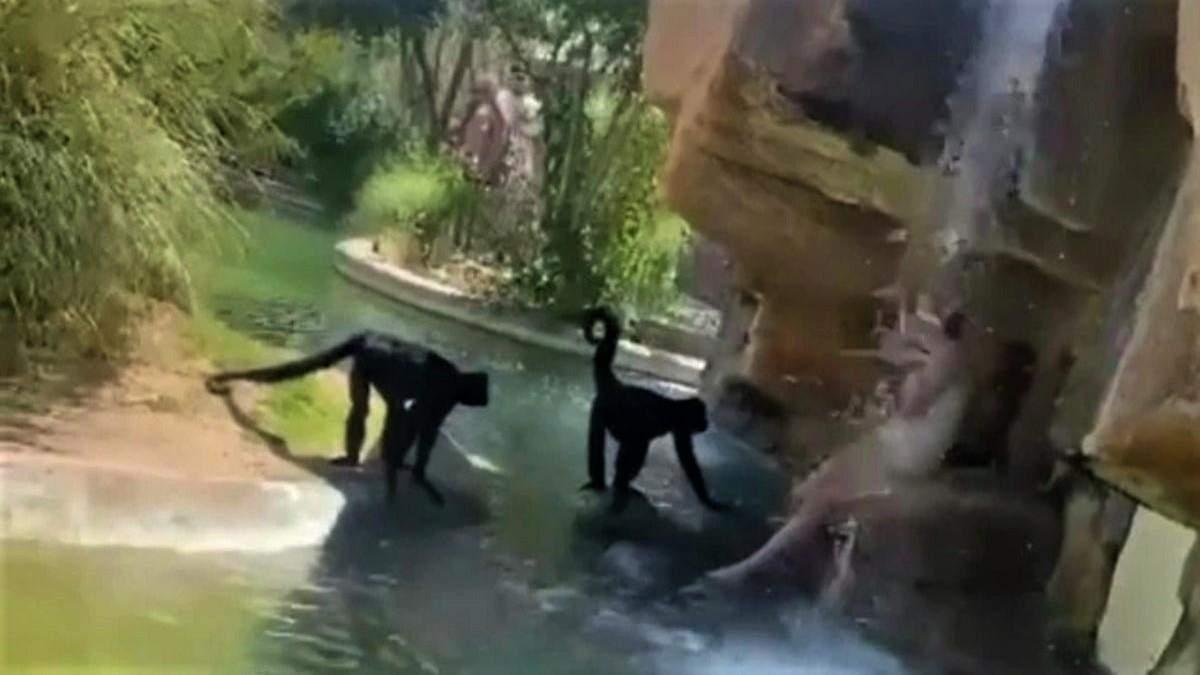 Женщина запрыгнула в вольер к обезьянам