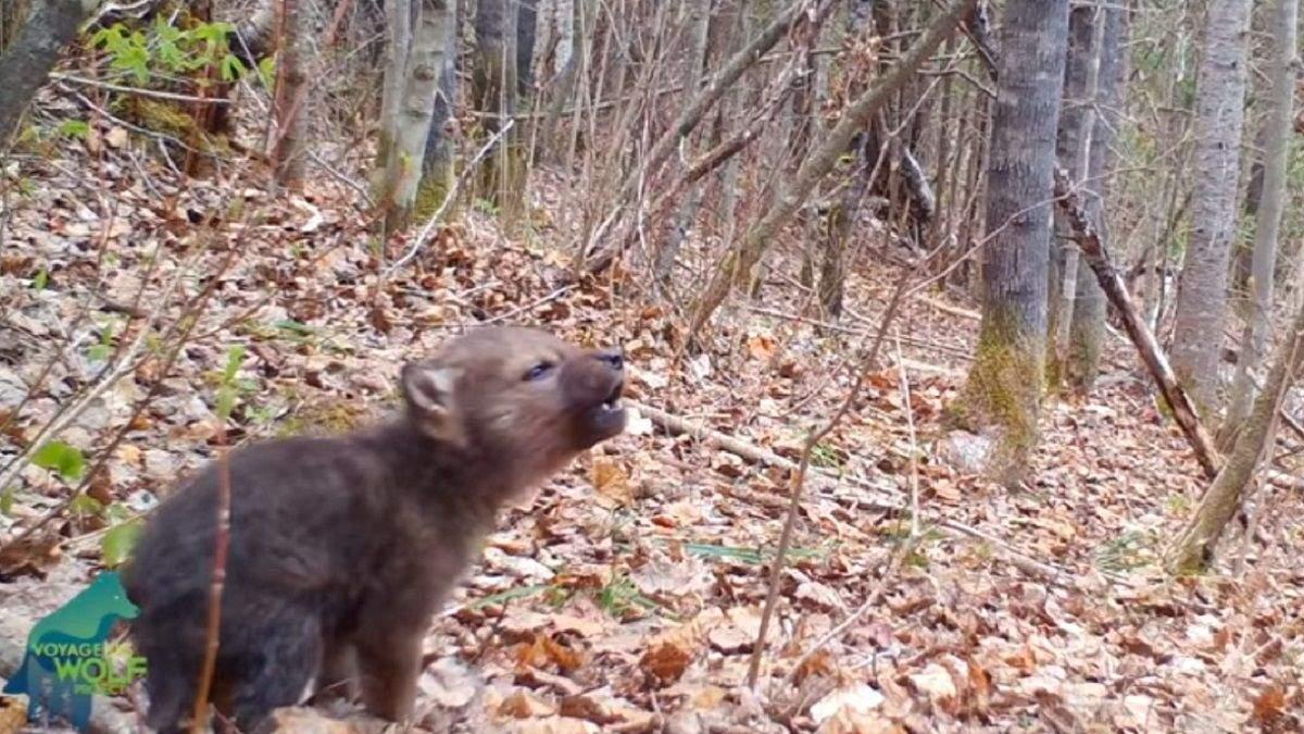 Заберите собак от экранов: на камеру сняли невероятно милый первый вой волчонка