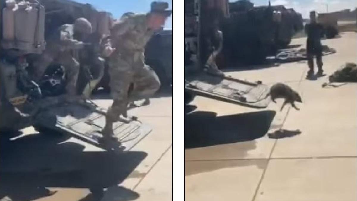 Американские солдаты спасаются бегством после того, как увидели енота в своем Страйкере