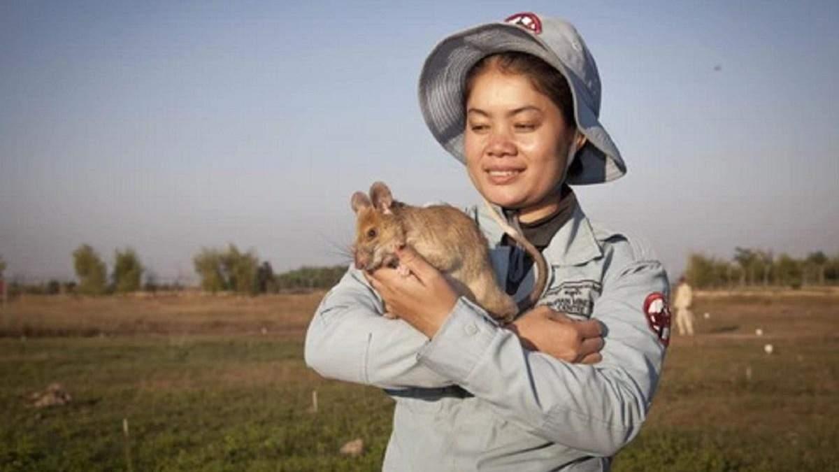 Спасла десятки людей: крыса-сапер из Камбоджи, получившая медаль, выходит на пенсию