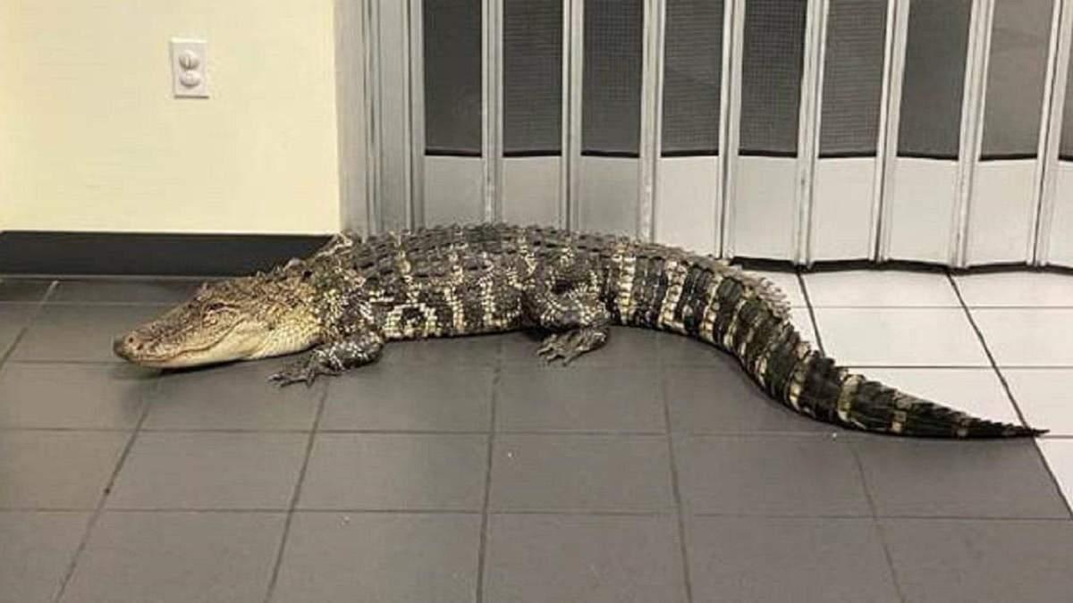 Аллигатор в почтовом отделении во Флориде