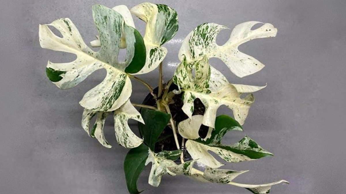 Рідкісну рослину продали за 19,3 тисячі доларів