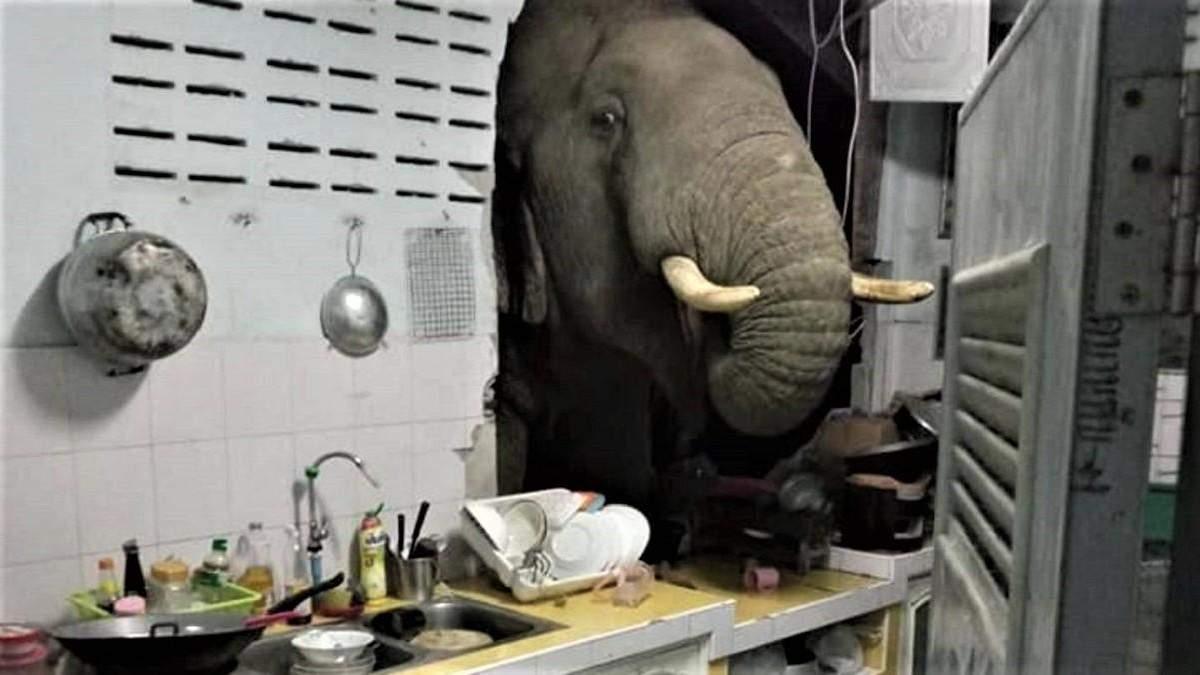 Слон вломился на кухню