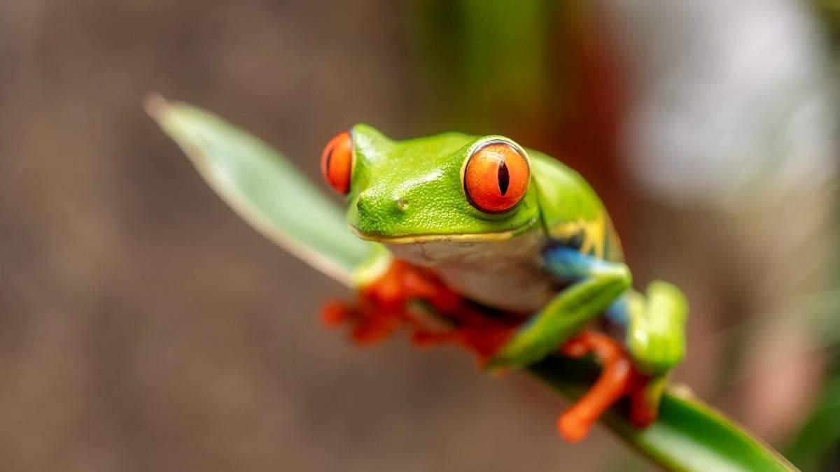 Акустичний концерт тайванських жаб: звукорежисер записує пісні земноводних з Тайваню