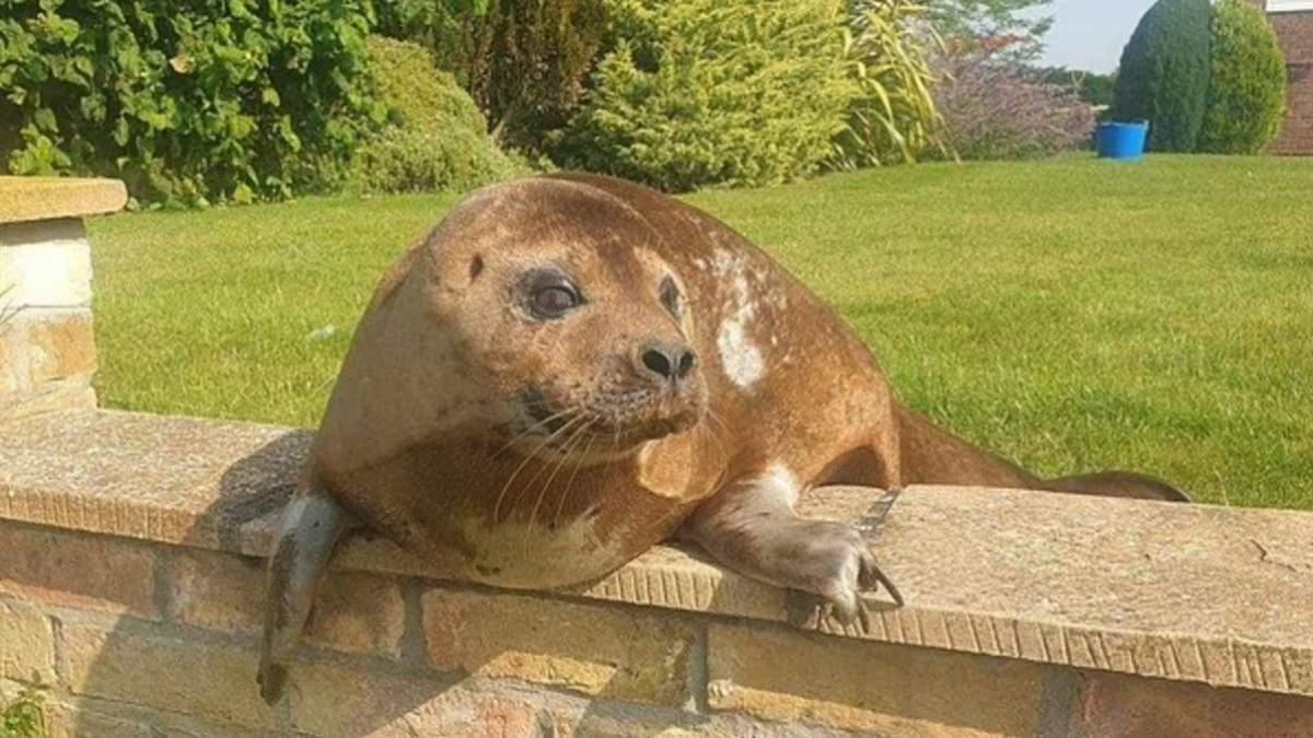 В гости к пенсионерке пришел тюлень