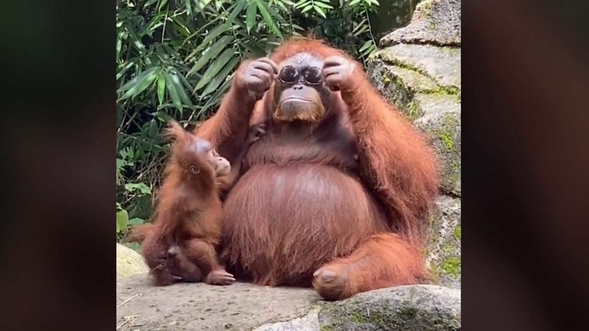 Самка орангутана приміряє окуляри
