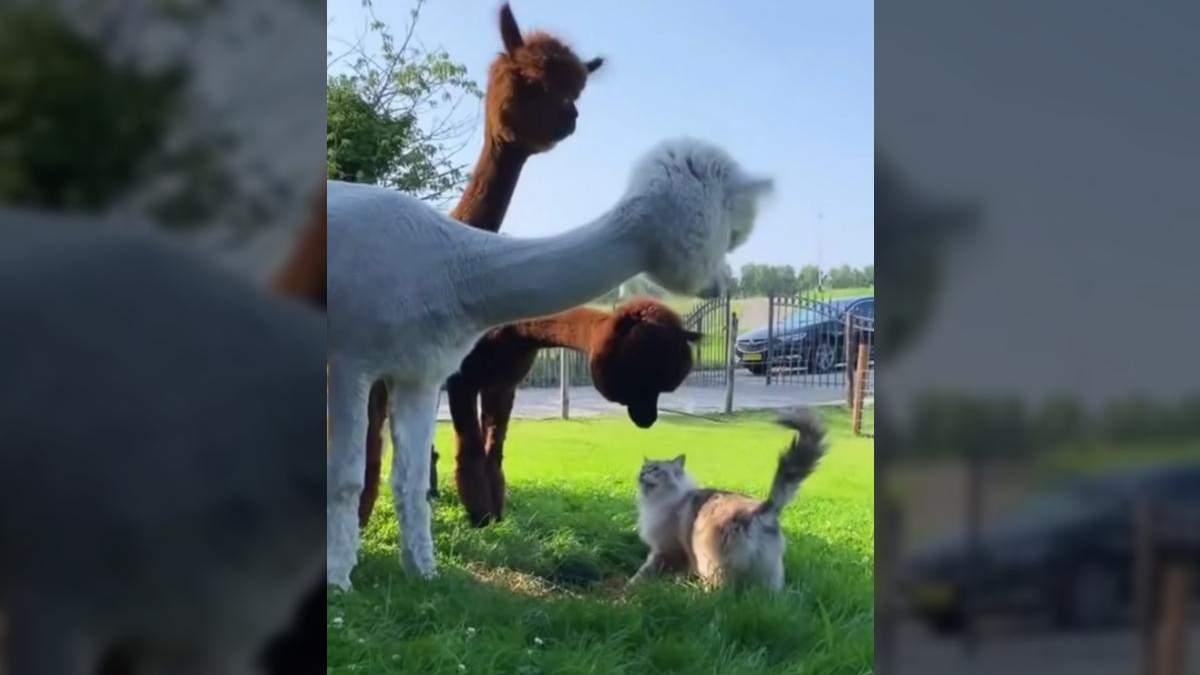Что это такое: озадаченные альпаки знакомятся с кошкой – забавное видео - Развлечения