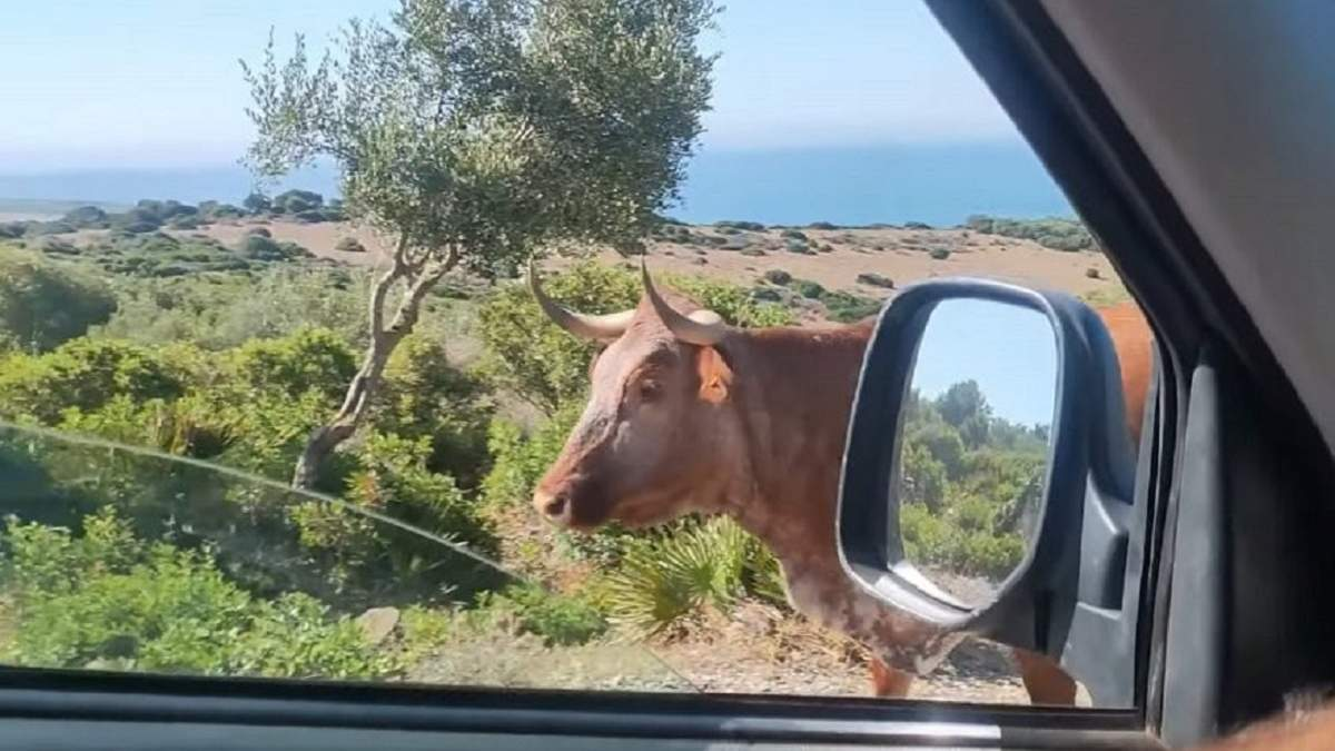 Сеть покоряют испанские коровы, которые указывают дорогу туристам: забавное видео