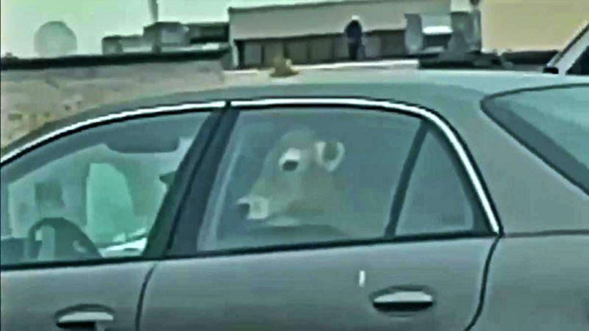 Заехали перекусить: возле McDonald's заметили авто с коровами на заднем сиденье – забавное видео - Развлечения