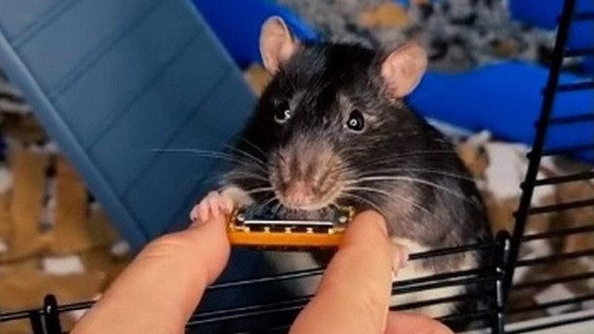 Крыса из Нидерландов сыграла на мини-гармошке, выпустила хитовый трек и стала звездой тиктока