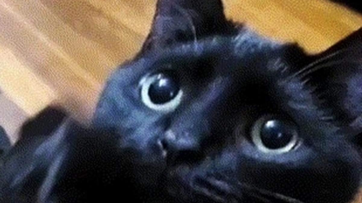 """Герой """"Шрека"""" знайдений: кіт з проникливим поглядом випрошує ласощі так, що неможливо відмовити - Розваги"""