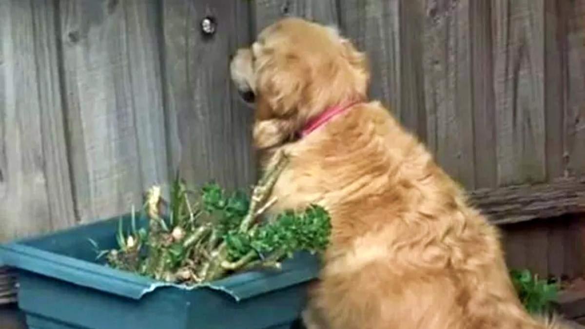 Хвостатая шпионка: забавная собака покорила сеть, подглядывая за соседями в вирусном видео - Развлечения