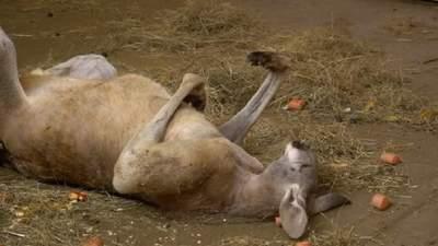 Кенгуру спал в странной позе: это насторожило посетителей, пожаловавшихся на зоопарк в полицию