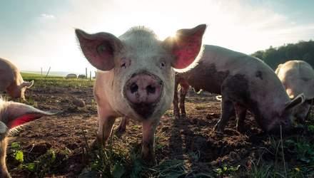 """Борці за права тварин просять не лаятися словами """"свиня"""", """"зміюка"""", """"пацюк"""" та пропонують заміну"""