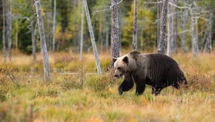 Не всі зустрічі з дикими тваринами однакові: бігун умовляє ведмедя не їсти його