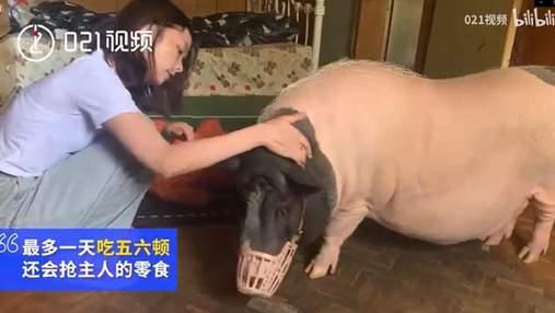 Женщина завела декоративного поросенка, а он вырос до 150 килограммов: видео