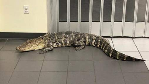 Во Флориде американец пришел на почту и встретил там огромного аллигатора